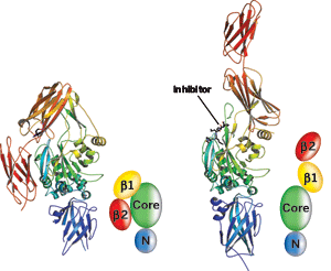 Models depict TG2's β1 and β2, catalytic core, and N-terminal domains for each structure