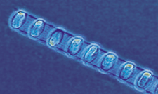 Image of Single-celled phytoplankton