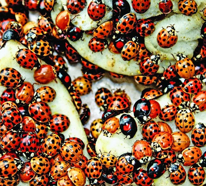 Invading Ladybugs Carry Bioweapons   May 27, 2013 Issue