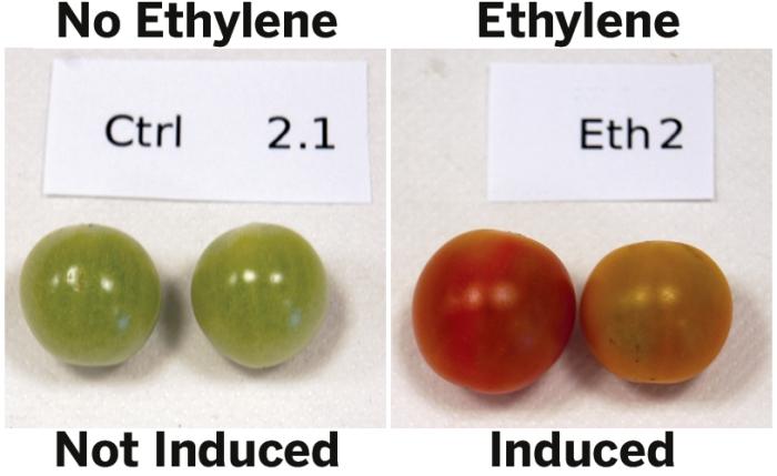 Ethylene Fruit