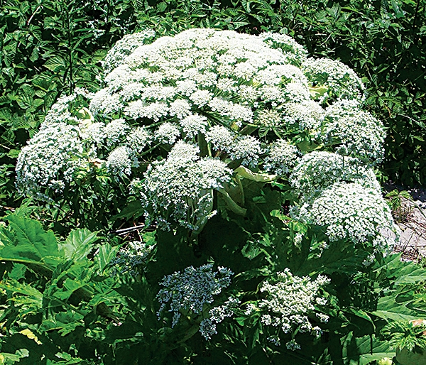 09336-newscripts-hogweed2cxd.jpg