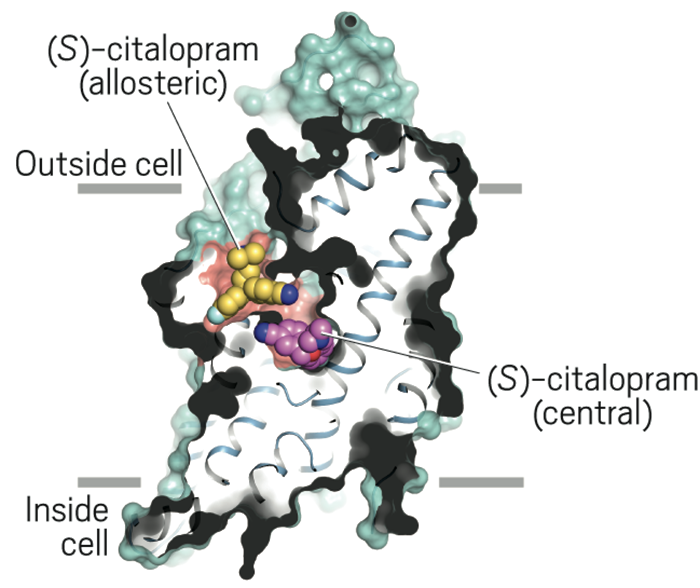 In this slice through the structure of human serotonin transporter, (<i>S</i>)-citalopram binds to both the central (green) and allosteric (blue) binding sites.