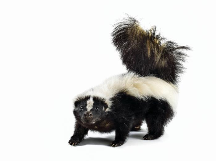 Image result for D&D giant skunk
