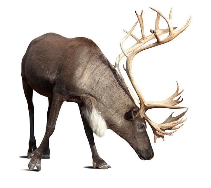 Meet the sentinels Reindeer Niche