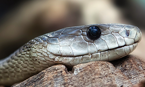 The search for better antivenoms heats up as snakebites get renewed