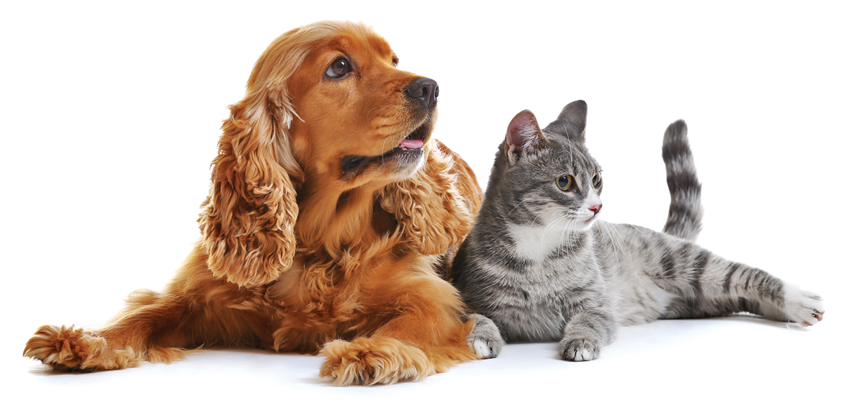How susceptible is your cat or dog to the novel coronavirus?